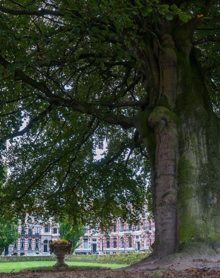 Een van de favoriete Rotterdamse bomen van Van de Vondervoort: de rode beuk op het Emmaplein. Foto: Joep Boute
