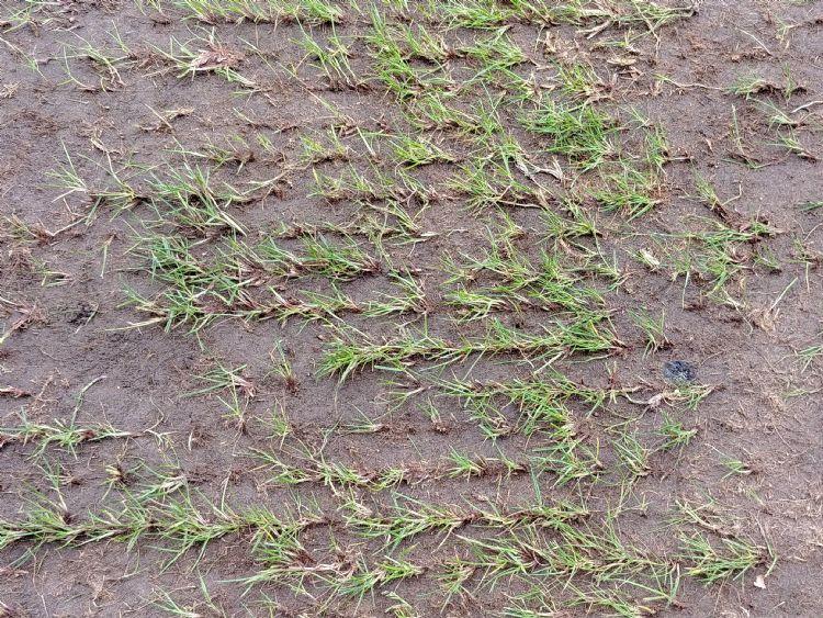 Maaifrezen met smallere beitels geeft minder beschadiging van het gras en daardoor sneller herstel.