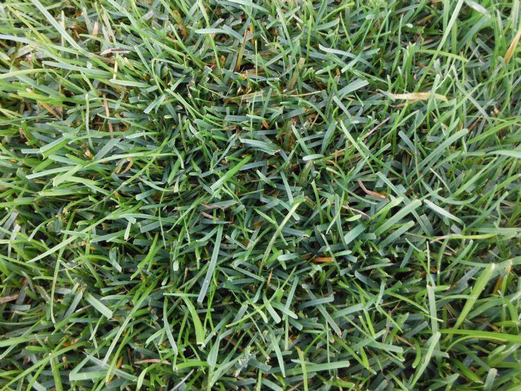 Droogte- en hittetolerante grassen zijn belangrijk voor grasvelden van de toekomst