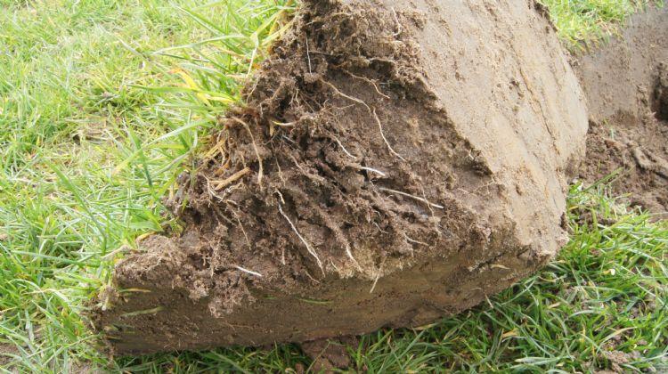 Door met kunstmest te bemesten, ontwikkelt het gras nauwelijks haarwortels