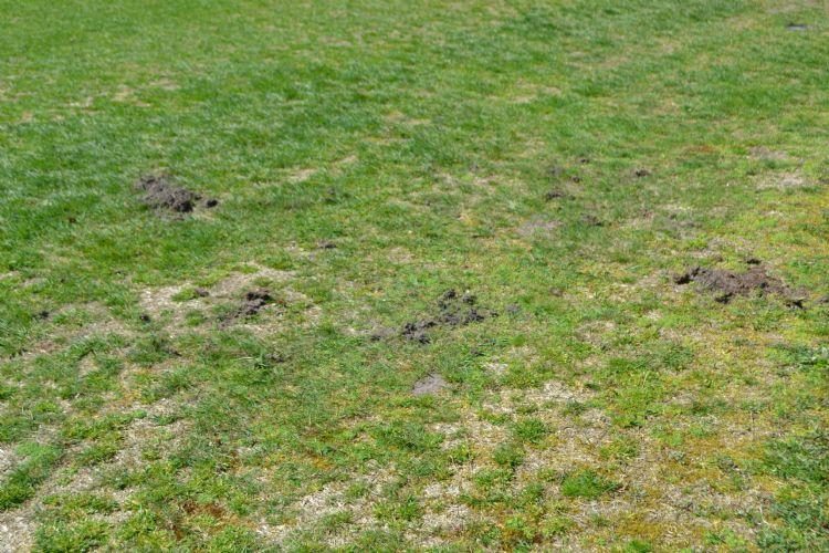 Schade door dassen op een golfbaan. Foto ter illustratie.